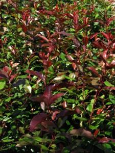 poza Arbusti de gradina PHOTINIA FRASERII RED ROBIN ghiveci 5-7 litri, h=60-80 cm pt garduri vii