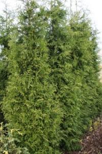 poza Arbusti rasinosi THUJA OCC.BRABANT30 litri, 175-200 cm, pt garduri vii