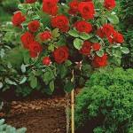 poza Trandafiri pe trunchi h=1.2m. Altoire cu Thea hybrida.
