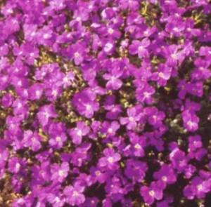 poza Flori de gradina perene AUBRIETA / AUBRIETA ROYAL VIOLET