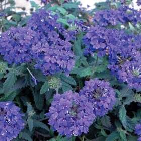 poza Plante de balcon curgatoare Verbena hybrida/ Verbena albastra