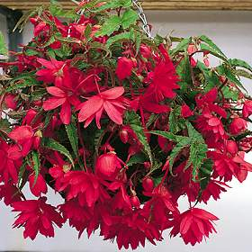 poza Flori de balcon BEGONIA TUBERHYBRIDA PENDULA MIX