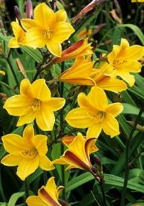 poza Flori perene HEMEROCALIS in ghivece de 3 litri