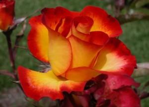 poza Trandafir de gradina Polyantha cu radacini Alinka