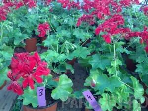 poza Plante de balcon muscate curgatoare cu floare dubla (Pelargonium peltatum grena Tommy