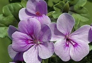 poza Plante de balcon muscate curgatoare cu floare simpla (Pelargonium peltatum Blizzard Blue)