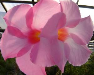 poza Flori de balcon DIPLADENIA ROZ
