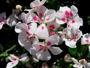 poza Plante de balcon muscate Pelargonium zonale WHITE SPLACH (albe cu centrul rosu)