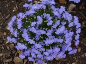poza Flori de gradina anuale Lobelia erinus Monn/ Lobelia. Flori in ghiveci de 9 cm.