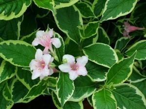 poza Arbusti cu flori WEIGELANana Variegata ghiveci 5-7 litri, h=80-100cm