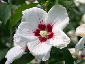 poza Arbusti de HIBISCUS SYRIACUS Red Heart cu, ghiveci 5 litri, h=50-60 cm
