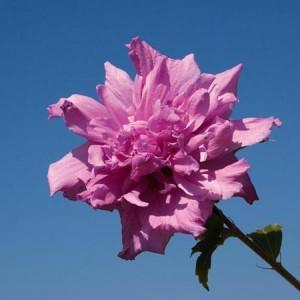 poza Arbusti de HIBISCUS SYRIACUS Roseus Plenus, flori duble, ghiveci 5 litri, h=50-60 cm