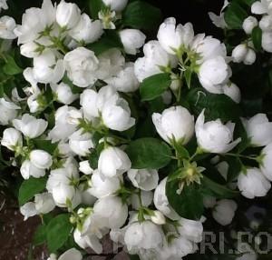 poza Arbusti parfumati PHILADELPHUS CORONARIUS VIRGINAL /Iasomie flori duble h= 60-100 cm ghiveci 5-7 litri