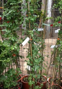 poza Trandafiri de gradina urcatori h=1.5-2 m, cu flori parfumate, la ghiveci