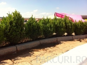 poza Arbusti evergreen BUXUS SEMPERVIRENS (cimisir sau merisor), ghivece 18 litri, h= 50-60 cm pt garduri vii