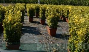 poza Arbust frunze persistente EUONYMUS JAPONICUS ELEGANTISSIMUS AUREUSghiveci 5 litri, h= 40-60 cm pt garduri vii