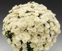 poza Flori de gradina perene CHRYSANTHEMUM BRANBEACH WHITE/CRIANTEMA