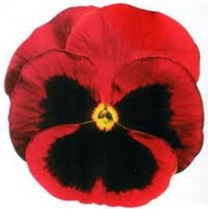 poza Flori bienale: Viola witrokiana Delta F1/Panselute in ghivece de 9 cm/soiul Red with Bloch Improved