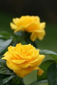 poza Trandafiri de gradina Golden Delight, planta formata cu radacina in ghivece de 3.5 litri