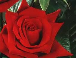 poza Trandafiri de gradina Red Berlin, planta ramificata cu radacina in ghivece de 3.5 litri