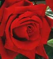 poza Butasi de trandafiri de gradina Polyantha cu radacina Foc de Tabara