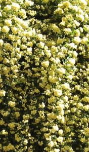 poza Trandafiri urcatori Lutea  planta formata cu radacina h=0.4-0.6m in ghiveci de 3.5 litri