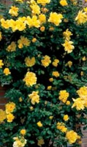 poza Trandafiri agatatori urcatori de gradina Golden Showers, planta formata cu radacina la ghiveci de 3,5 l