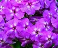 poza Flori de gradina perene PHLOX PANICULATA/ PHLOX PANICULATA SWEET SUMMER Purple White la ghiv de 1 litru
