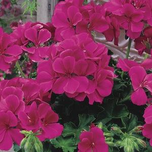 poza Plante de balcon muscate curgatoare cu floare dubla (Pelargonium peltatum roz inchis Royal Magenta)