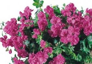 poza Plante de balcon muscate curgatoare cu floare dubla (Pelargonium peltatum roz deschis Royal Ametyst)