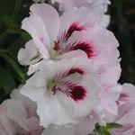 poza Plante de balcon muscate Pelargonium zonale MONA LISA