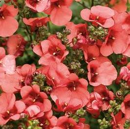 poza Flori de balcon DIASCIA