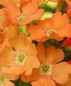 poza Plante de balcon curgatoare Verbena hybrida/ Verbena orange-salmon