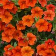 poza Plante de balcon petunii curgatoare mini portocaliiMillion Bells