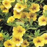 poza Plante de balcon petunii curgatoare mini galbene Million Bells