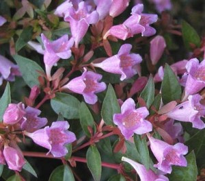 poza Arbusti parfumati de gradina ABELIA EDWARD GOUCHER in ghiveci de 3-5 litri, h=30cm tufa formata