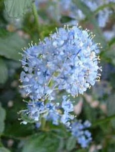 poza Arbust de gradina cu flori CEANOTHUS GLOIRE DE VERSAILLES ghiveci 3-4 litri h= 50 cm