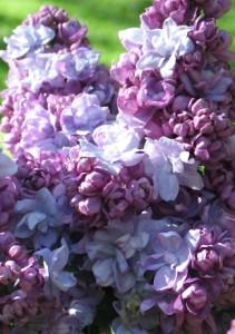 poza Liliac mov parfumat cu flori batute SYRINGA VULGARIS Khaterine Havemeyerghiveci 5-7 litri, h=40-60cm