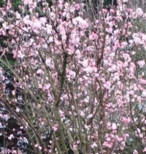 poza Arbust decorativ prin flori iarna VIBURNUM bondantense Dawnghiveci 5 litri, h=60cm