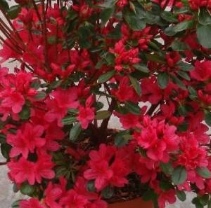 poza Arbusti cu flori AZALEA JAPONICA HINO-CRIMSONghiveci de 5 litri, planta cu diam. de 30-35 cm
