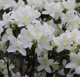 poza Arbusti cu flori AZALEA JAPONICA Palestrinaghiveci de 5 litri, planta cu diam. de 30-35 cm