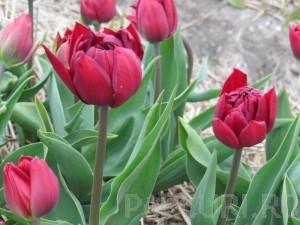 poza Bulbi de lalele Duble timpurii. Matrix, flori rosii batute