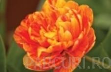 poza Bulbi de lalele Duble tarzii, Gudoshnik Double , flori galben satirat rosu, batute