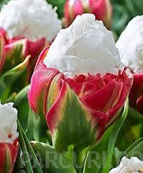 poza Bulbi de lalele Duble tarzii, Ice Cream , flori duble, rosu la baza si alb in varf