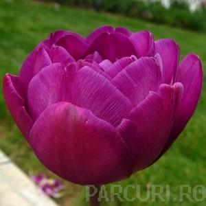 poza Bulbi de lalele Duble tarzii, Purple Paeony, flori duble, mov