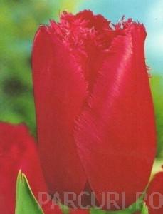 poza Bulbi de lalele Fringed, Brungundy Lace, flori duble, franjurate, rosii-ciclam