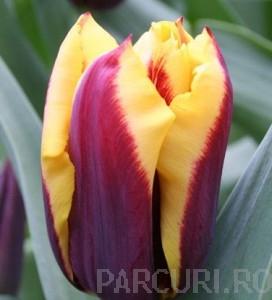 poza Bulbi de lalele Gavota, 7 buc/punga, culoare burgundy cu galben