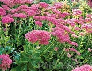 poza Flori de gradina perene Sedum spectabile Brilliant, ghiv 15 cm diam.