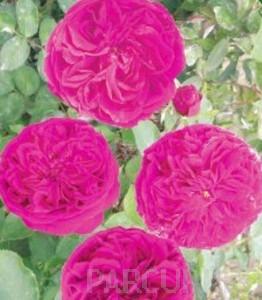 poza Trandafiri englezesti de gradina Falstaf plante formate cu radacini la ghivece de 3.5 litri