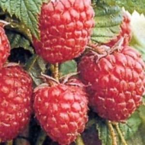 poza Arbusti fructiferi Zmeur, soiul `Fertodi`